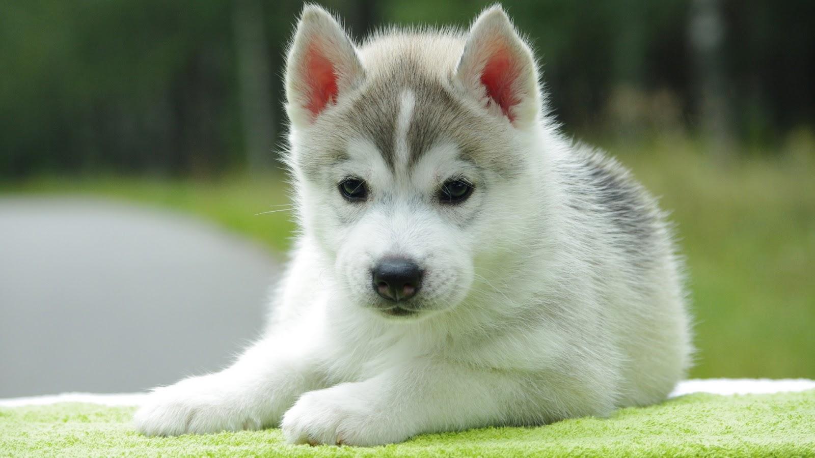 Cute White Puppy Husky | Full HD Desktop Wallpapers 1080p