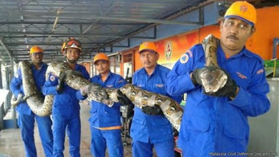 Ular Terpanjang di Dunia Tertangkap di Malaysia