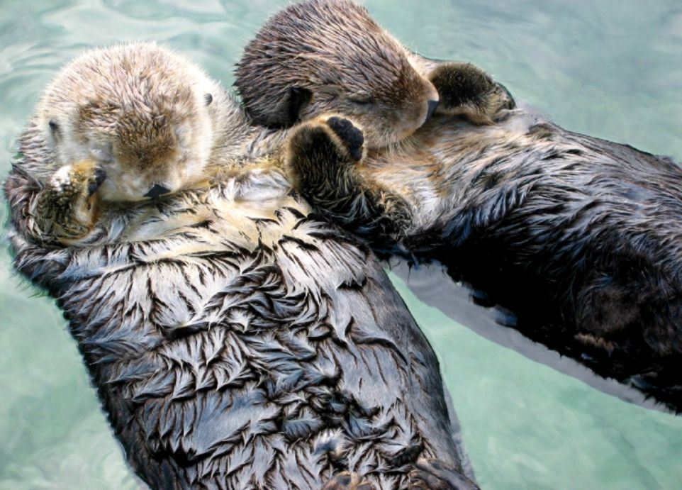 Otterly Adorable Sea Otters Holding Hands To Keep From Drifting