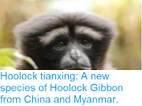 http://sciencythoughts.blogspot.co.uk/2017/01/hoolock-tianxing-new-species-of-hoolock.html
