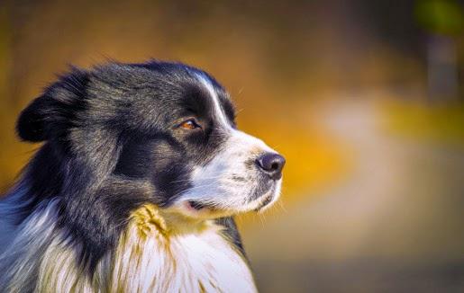 Co zrobić, gdy pies linieje?