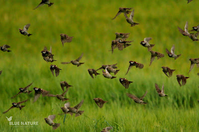Bando de gorriones morunos (Passer hispaniolensis) en vuelo.