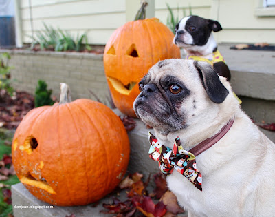 Liam the pug and Sinead the Boston terrier with their pumpkins