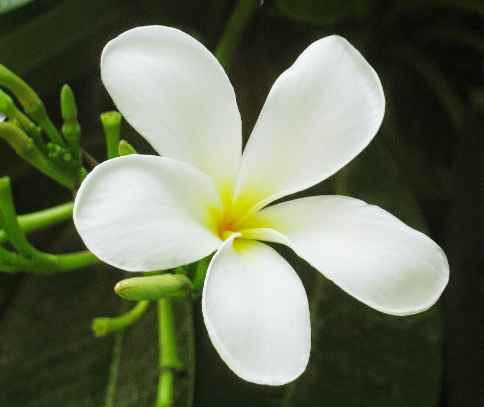 gambar wallpaper bunga melati putih cantik terbaru 2017