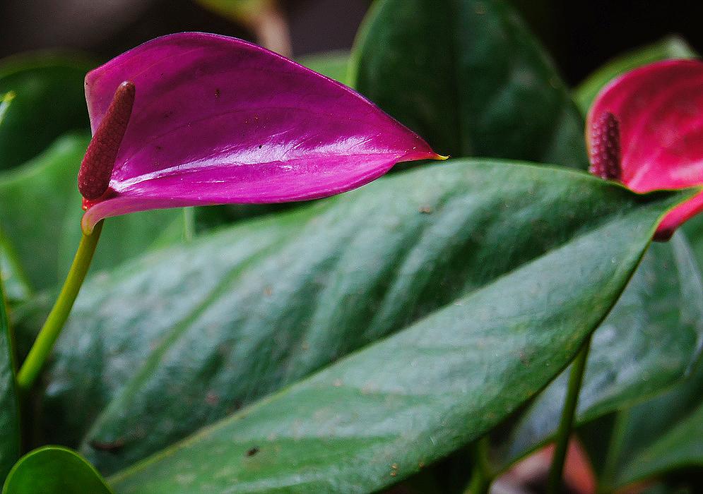 Anthurium Andraeanum Fertilizer | Cromalinsupport