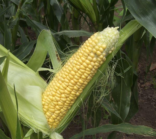 Corn Growing Sweet How To Grow