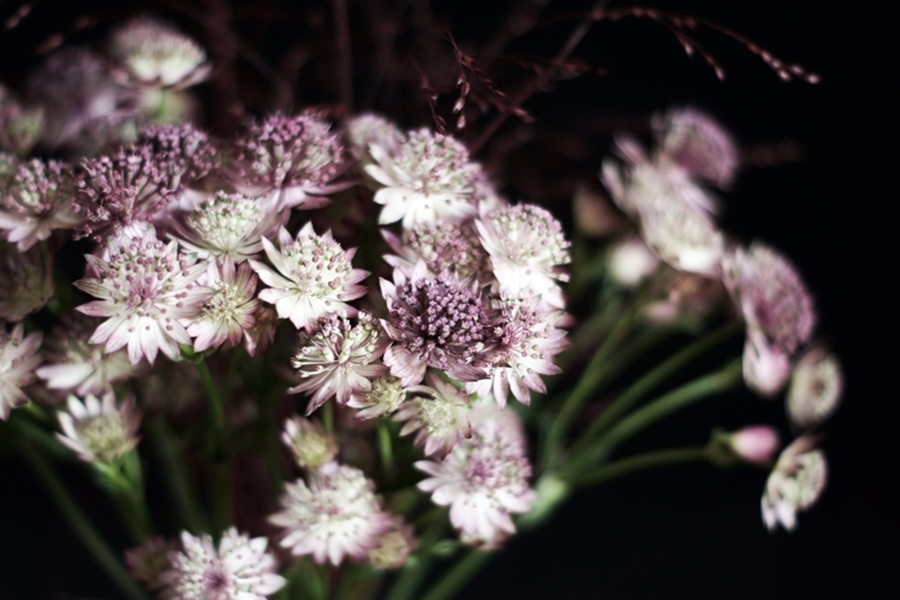 Blog + Fotografie by it's me! - Sterndolde Astrantia