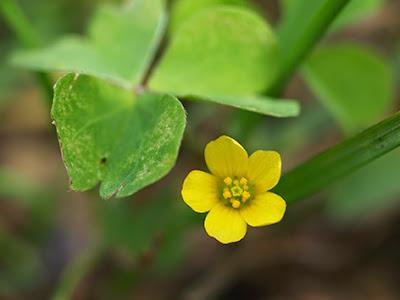 Oxalis amarillo (Oxalis europaea)