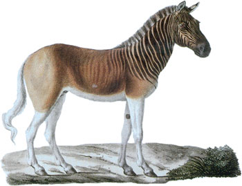 earthian: Quagga: half zebra, half horse, completely extinct!