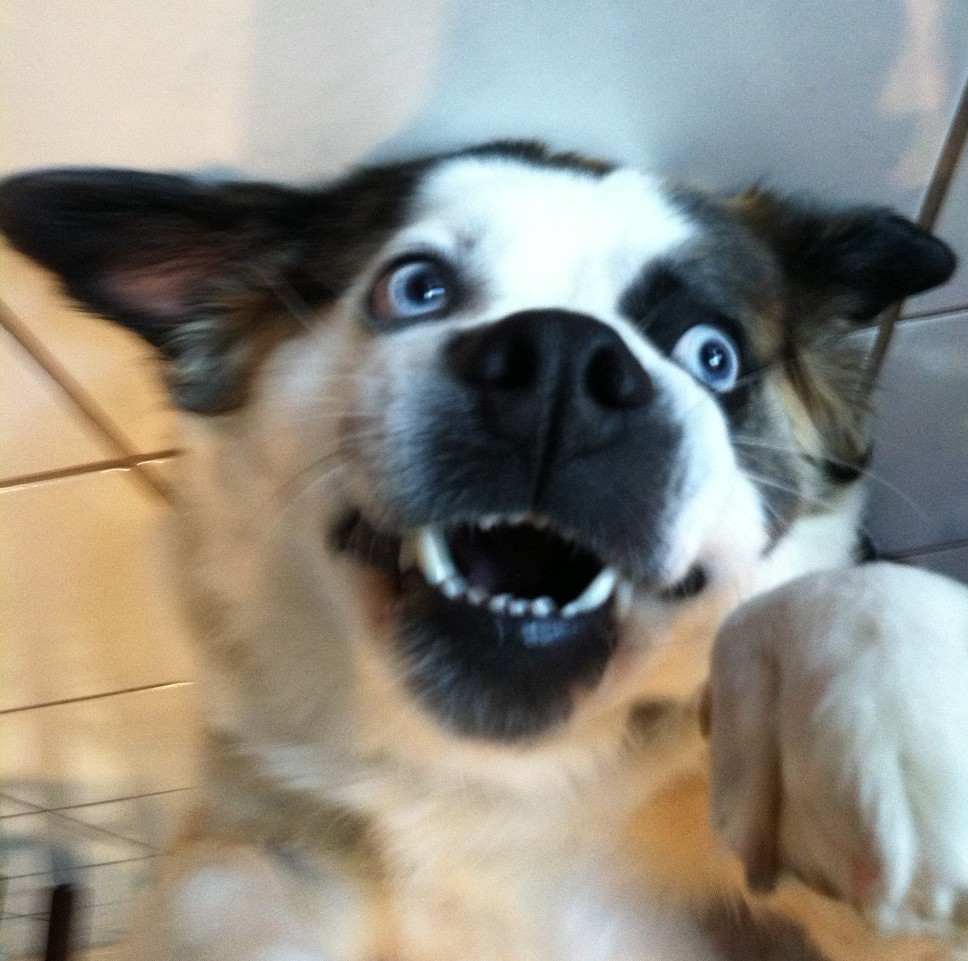 Corgi Husky Mix For Sale - Dog Training Home | Dog Types