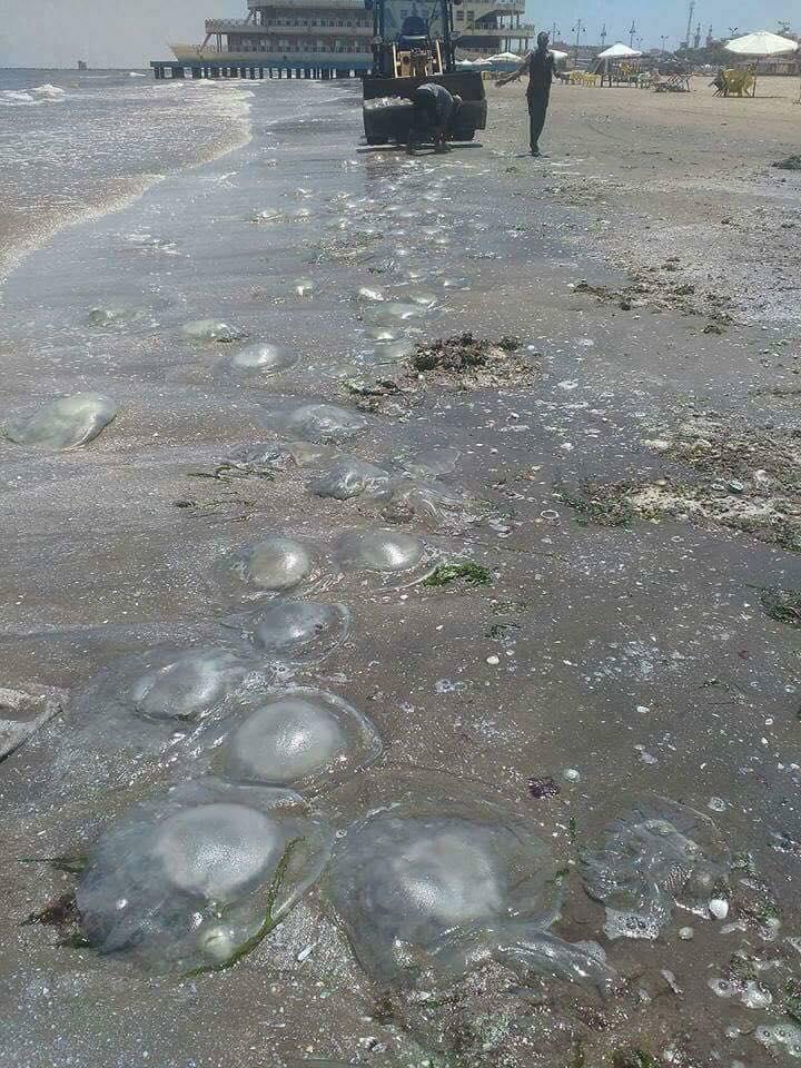 انتشار قناديل البحر على الشاطيء