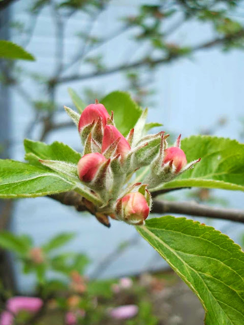 apple blossom waiting to burst into flower