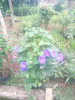 tanaman hias rambat untuk canopy dan pergola