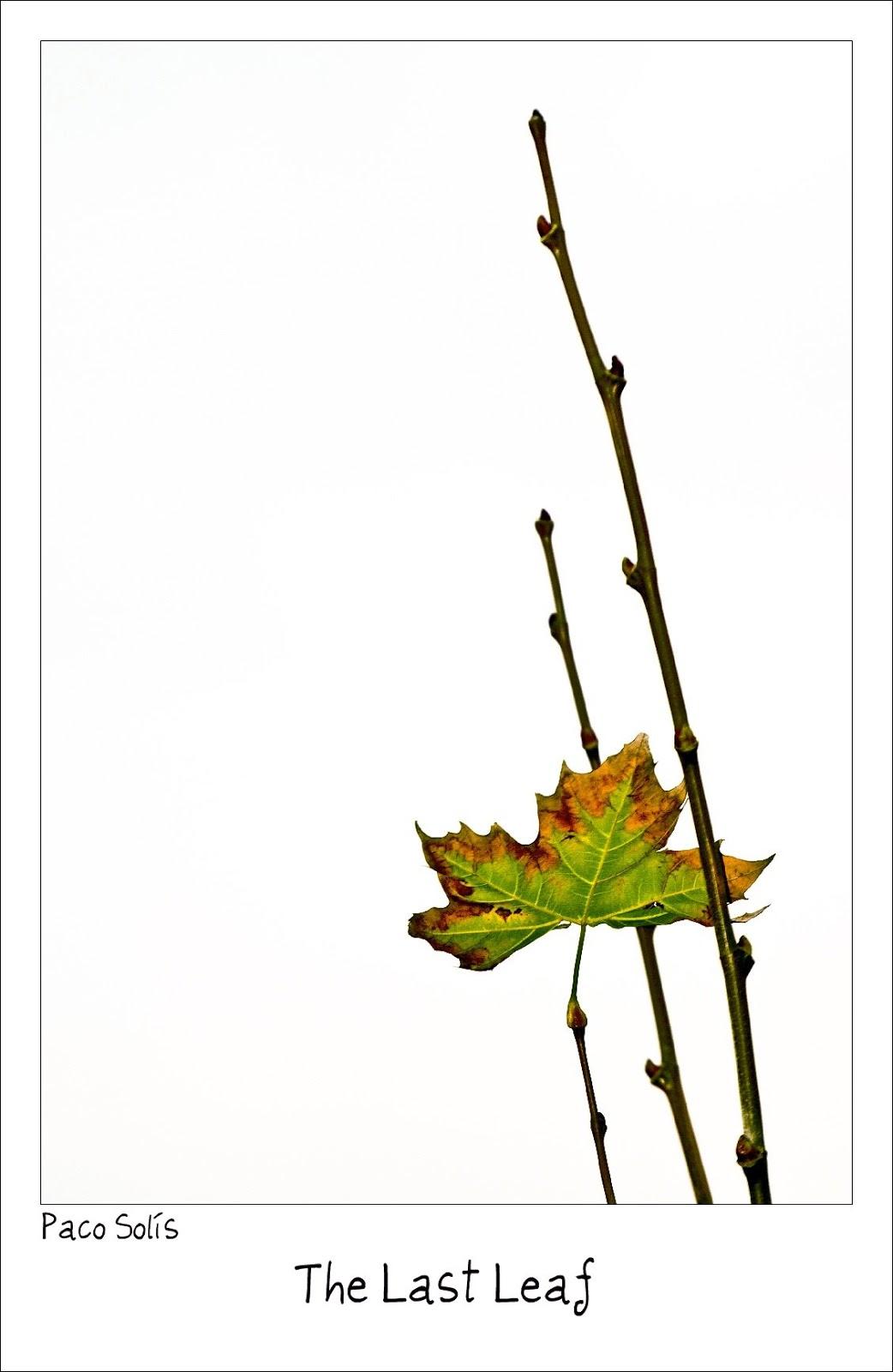 O・ヘンリーの『最後の葉っぱ』のイメージ:蔦の緑の縁が少し黄色に変色した葉っぱ