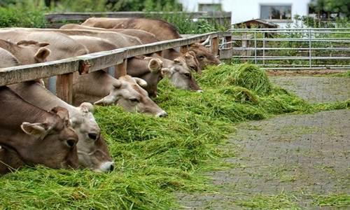 Cara dan Macam Pakan Ternak Sapi Potong Untuk Penggemukan