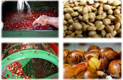 Cara Pengolahan Biji Kopi Dengan Cara Honey Process