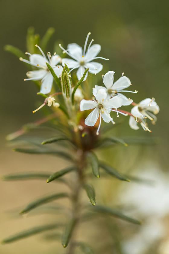 Ledum flowers