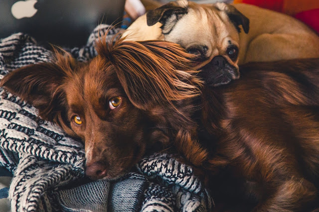 Snuggling pups on blanket