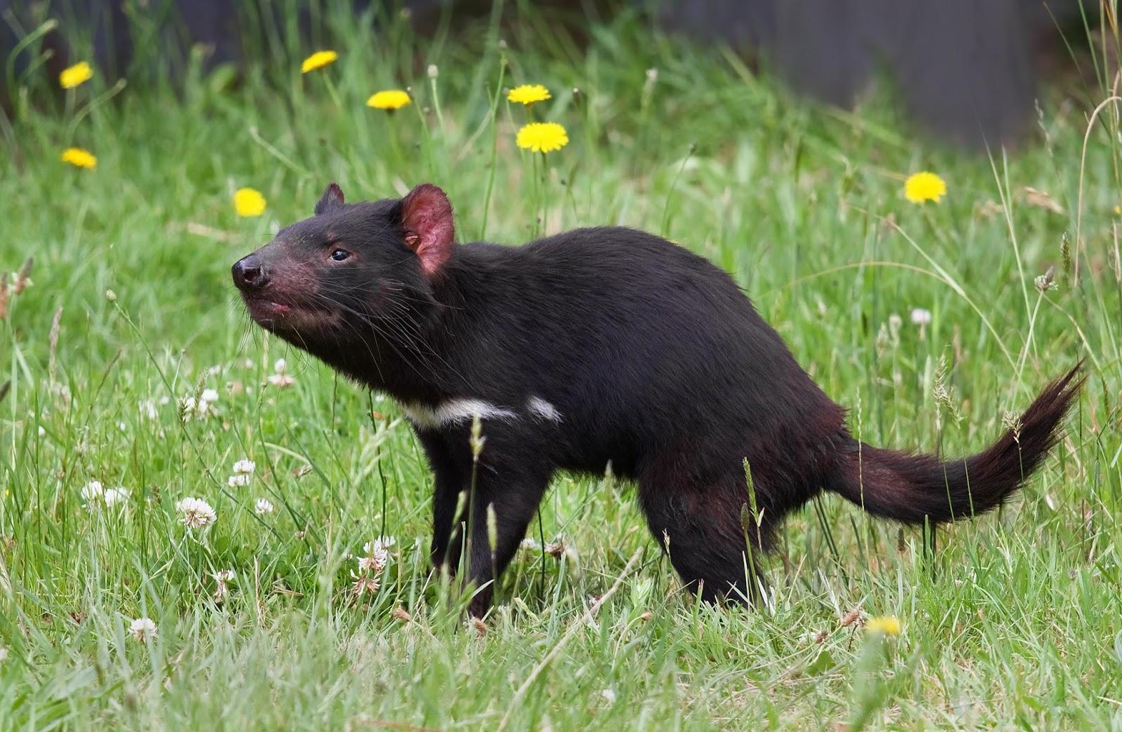 Mammals Animals: Sarcophilus harrisii taranna