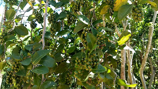 Coccoloba diversifolia (Pigeon plum) bahamas caribbean tree fruits