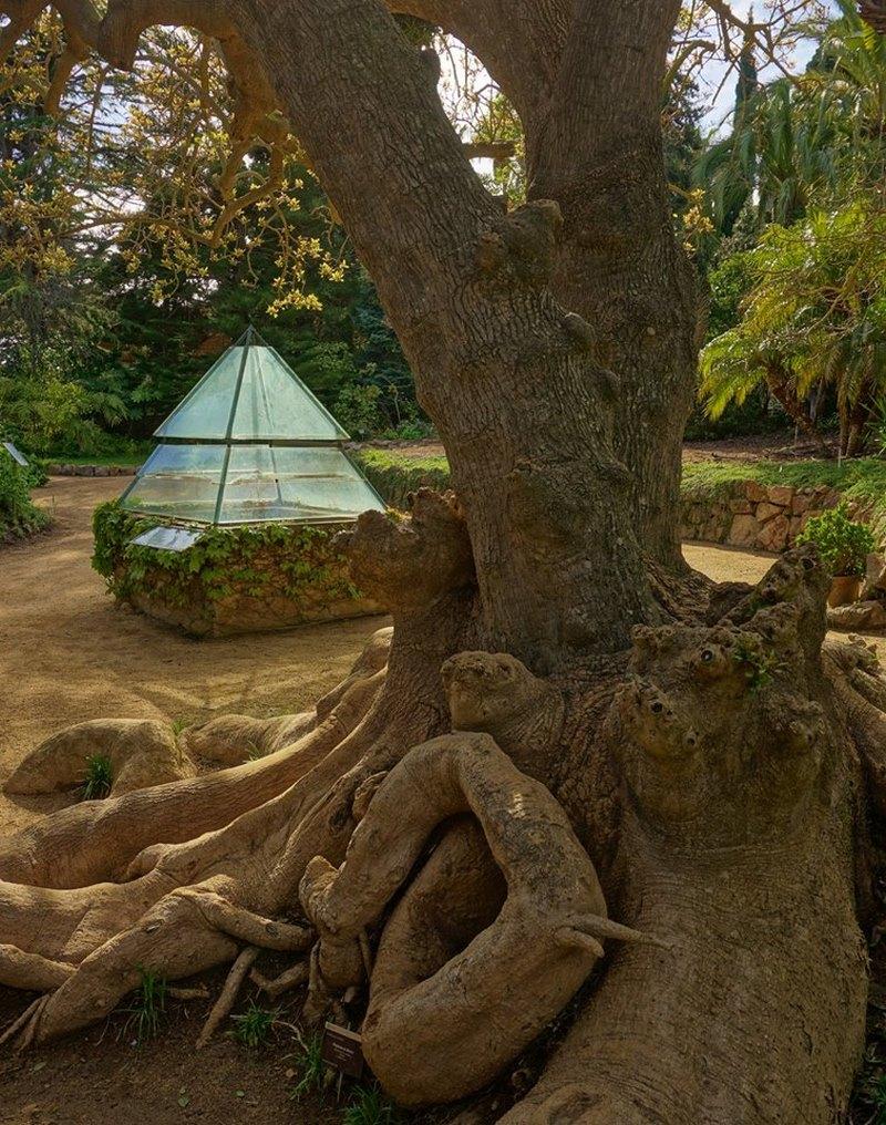 tronco de arbol retorcido de ombu o bellasombra (Phytolacca dioica)