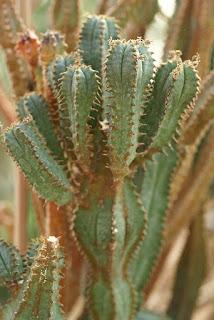 Euphorbe de Jansenville - Euphorbia jansenvillensis