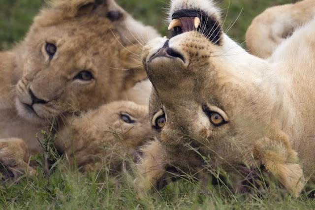 Löwen Familie Masai Mara, Kenia