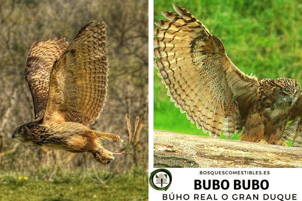 Bubo bubo, Búho Real, es ave nocturna donde su envergadura puede llegar al 1,80 m. de longitud.