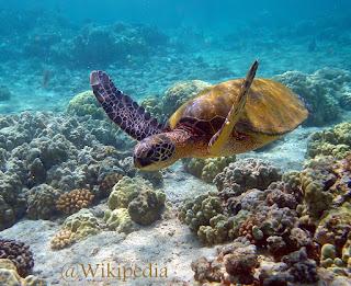 Penyu Hijau (Green sea turtle)