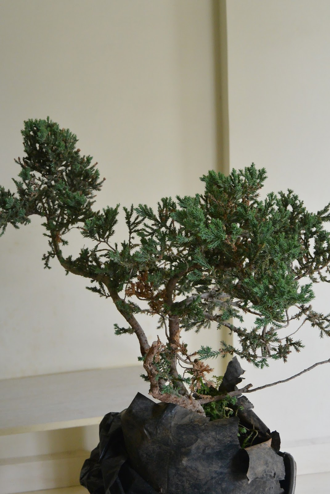 Kapilaascreations Bonsai Wiring Cypress Is Started After Clearing The Main Trunk