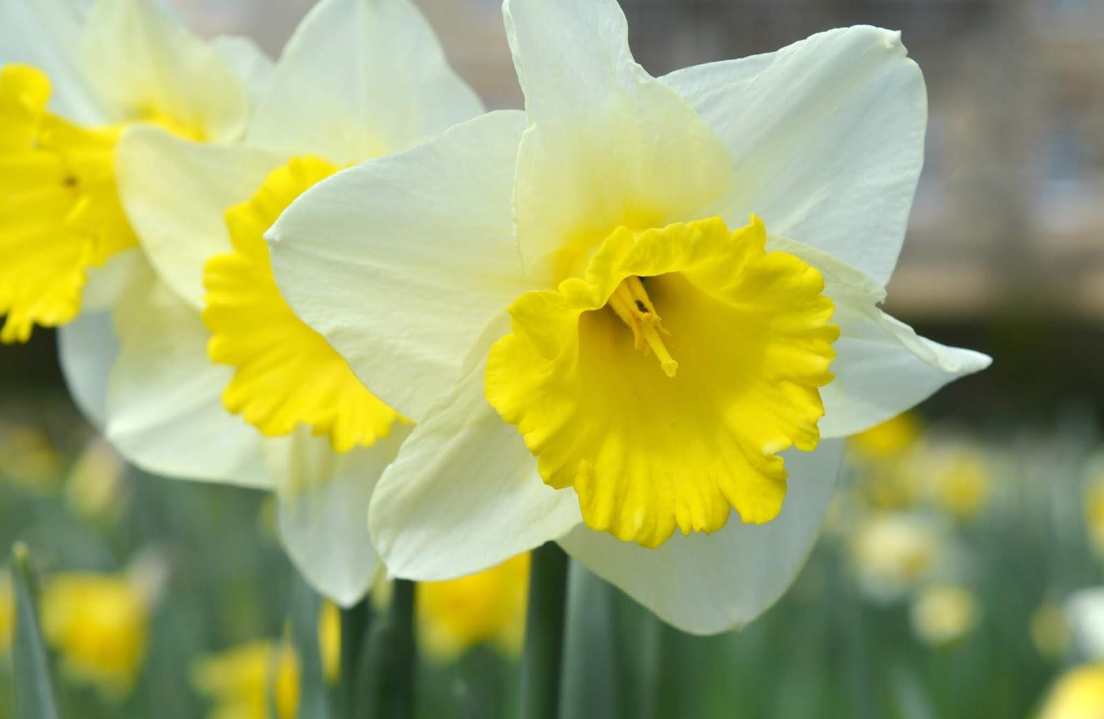 Howick Hall, Northumberland - Daffodil Season