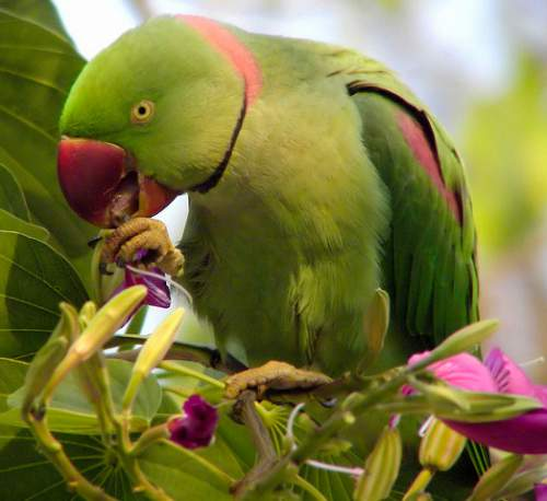 Indian birds - Alexandrine parakeet - Psittacula eupatria