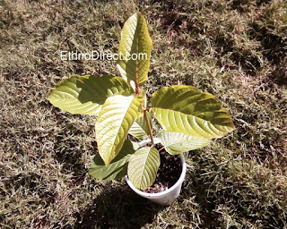How To Grow Kratom