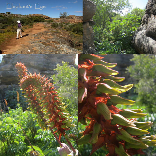 Melianthus comosus forest on Sevilla Rock Art Trail near Clanwilliam in August 2014