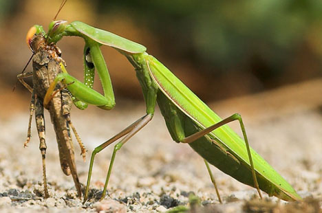 grass hopper eaten by a praying mantis