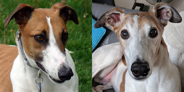 two juxtaposed images of Dudley the Greyhound: On the left, Dudley at age 1.5 when he first came to live with us, with a dark brown muzzle and dark black rings around his eyes, and, on the right, Dudley at age 10.5 just a few weeks ago, with a white face