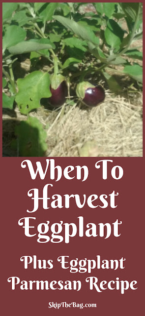 Tips for harvesting eggplants and a delicious recipe for Eggplant Parmesan.