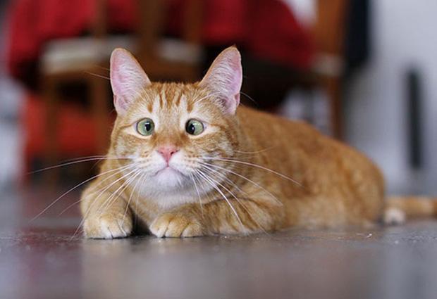 Muốn lác mắt với 15 em mèo mắt lác siêu đáng yêu