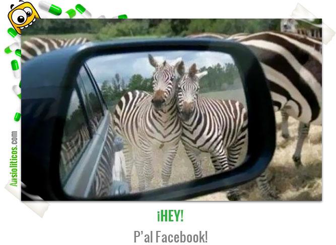 Chiste de Animales Cebras con Facebook