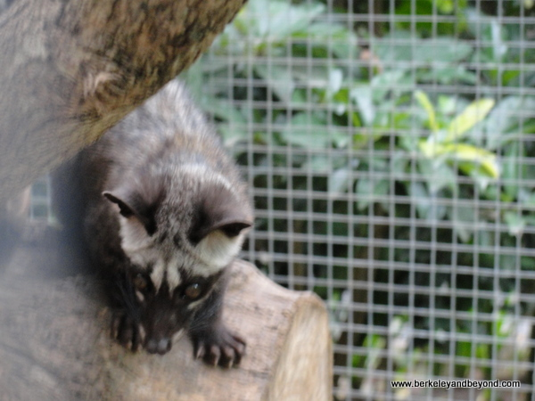 caged civet jungle cat on coffee plantation in Bali, Indonesia