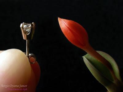 Botão floral da micro-orquídea Sophronitis cernua