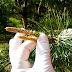 Syrop z pędów sosny na kaszel