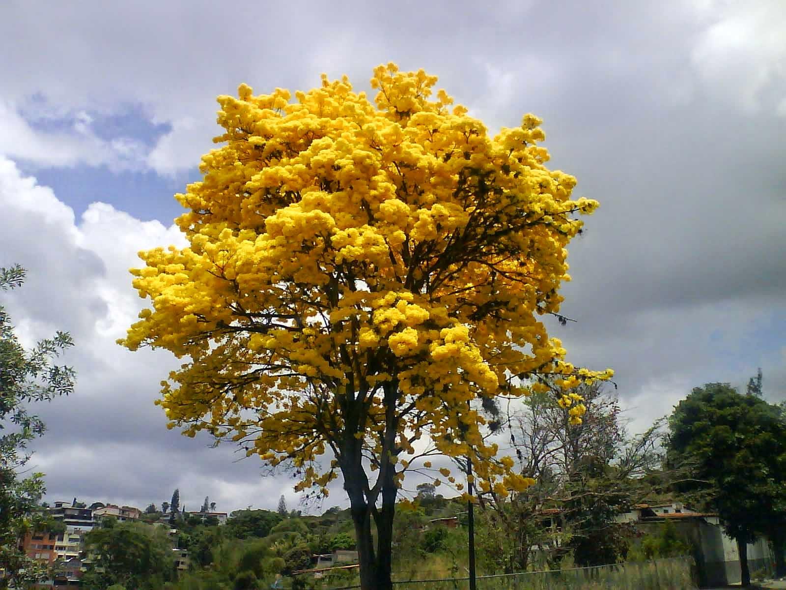 Resultado de imagen para amapa amarilla