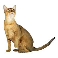 Kucing Chausie dan Karakteristiknya