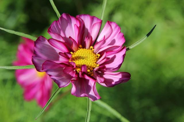 Cosmos bipinnatus, 'Fizzy Rose Picotee'