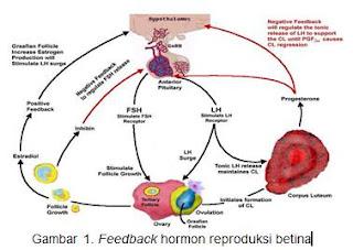 Feedback hormon reproduksi betina