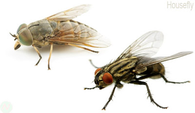 Housefly, Housefly insect