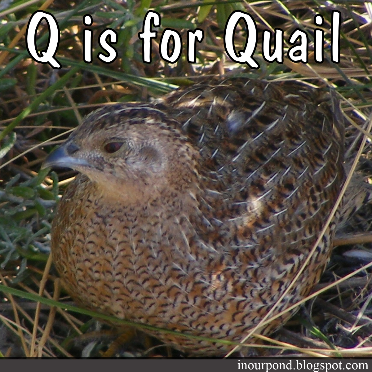 Q Is For Quail Year 3 Week 24