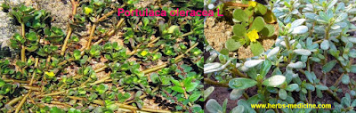 Heart disease use Portulaca oleracea
