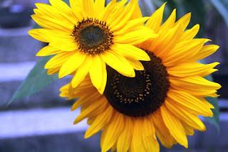 Gambar Bunga Matahari Paling Indah 200018_Sunflower